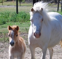 Anyssa Park Red Corvette foal for sale miniature