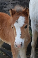 Anyssa Park Miniature horse Foals For Sale