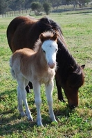 Anyssa Park Ultimate Artist Miniature Horse Foal For Sale
