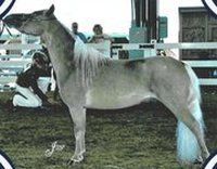 Willow Creek Ultimate Dream - World Top 10 Halter/Jumping/Driving
