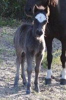 Anyssa Park Ultimate Onyx Miniature Horse Colt Foal For Sale